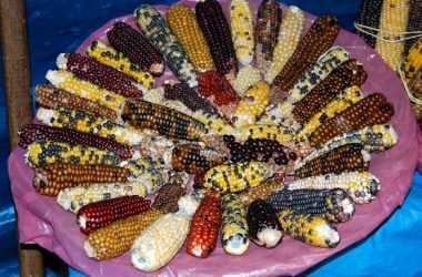 The Variety of Corn in Cuzco
