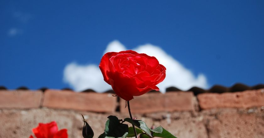Rose Shining in a Bright Dry-Season Sky