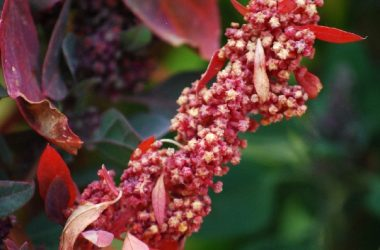The Seed Stalk of the Quinoa Plant (Photo: Wayra)