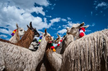 Alpacas and Llamas (Photo: Wayra)