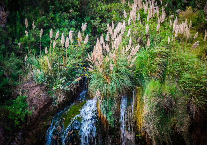 Pampas Grass (Niwa) Blowing outside Cuzco (Photo: Wayra)