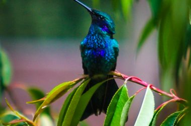 The Sacred Andean Hummingbird (Photo: Walter Coraza)