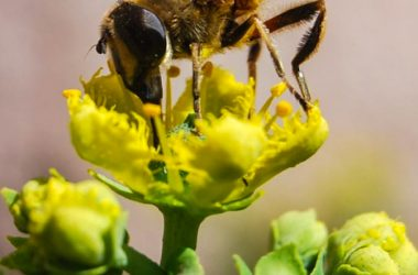 It is Spring, Honeybee on a Rue Flower (Photo: Walter Coraza)