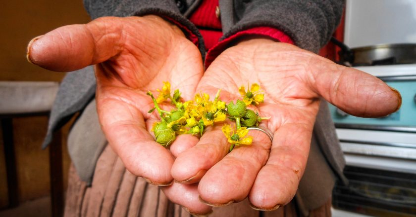 Carry Rue Flower and Its Seed on Your Wallet to Get Money (Photo: Walter Coraza M.)