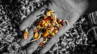 Ayni, Reciprocity is Great Value in the Andes, Corn Seeds (Photo: Walter Coraza Morveli)