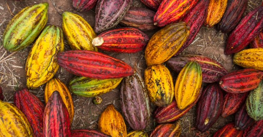 Pods of Peruvian Cacao (Photo: Walter Coraza Morveli)