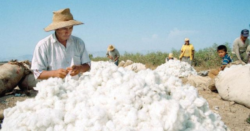 Cotton Producers in Peru