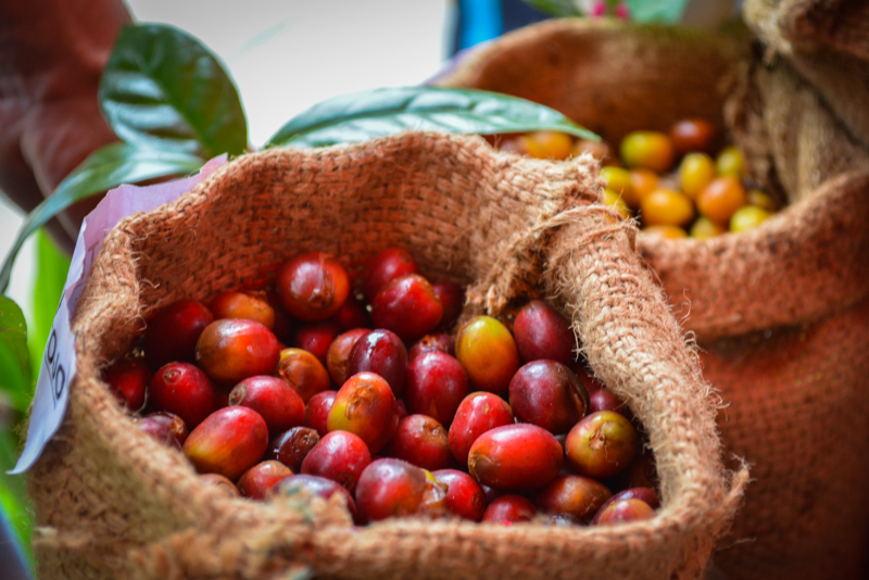 Fresh, Ripe Coffee Berries (Photo: Walter Coraza Morveli)