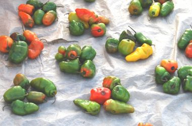 Even Indigenous Rocoto Peppers Face Modification (Photos: David Knowlton)
