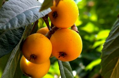 Colorful Loquat on the Limb