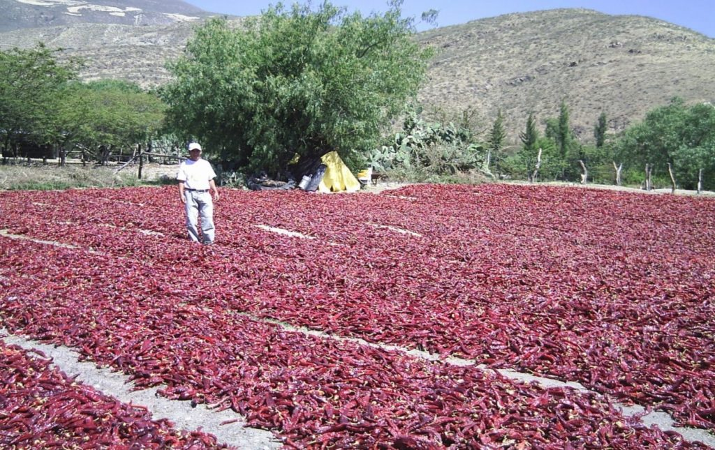 Guajllos Drying in a Peruvian Sun