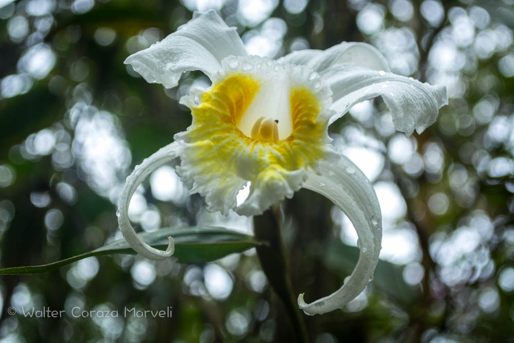 A Beautiful Orchids in Jardines de Mandor(Walter Coraza Morveli)