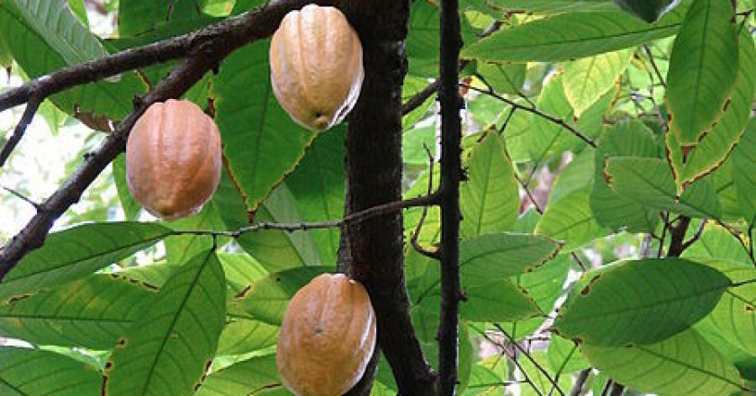 Cacao on the Tree like Cotton on the Plant