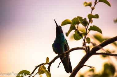 A beautiful hummingbird (Arnold Fernandez Coraza)