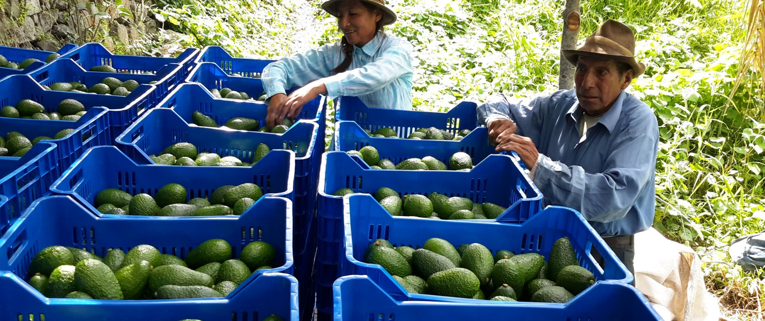 Export of Hass Avocados