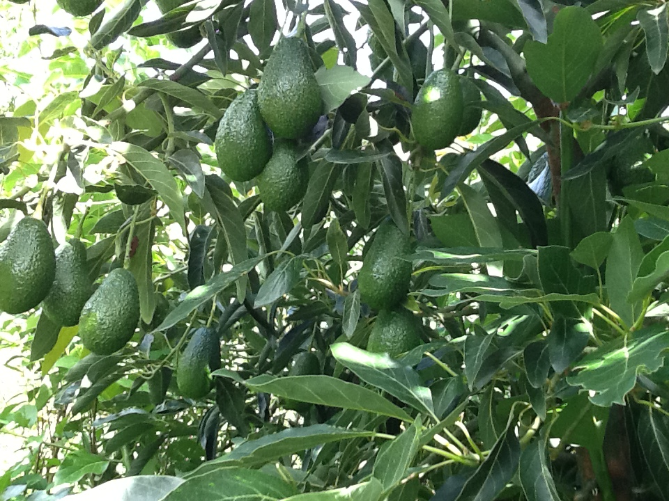 Avocados in Limatambo