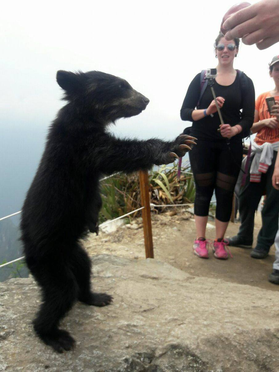 The Bear trying to get fruit (Photo: Fidelus Coraza Morveli)